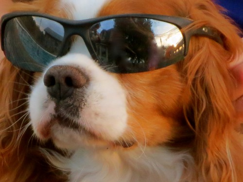 Rusty is One Cool Cavie...