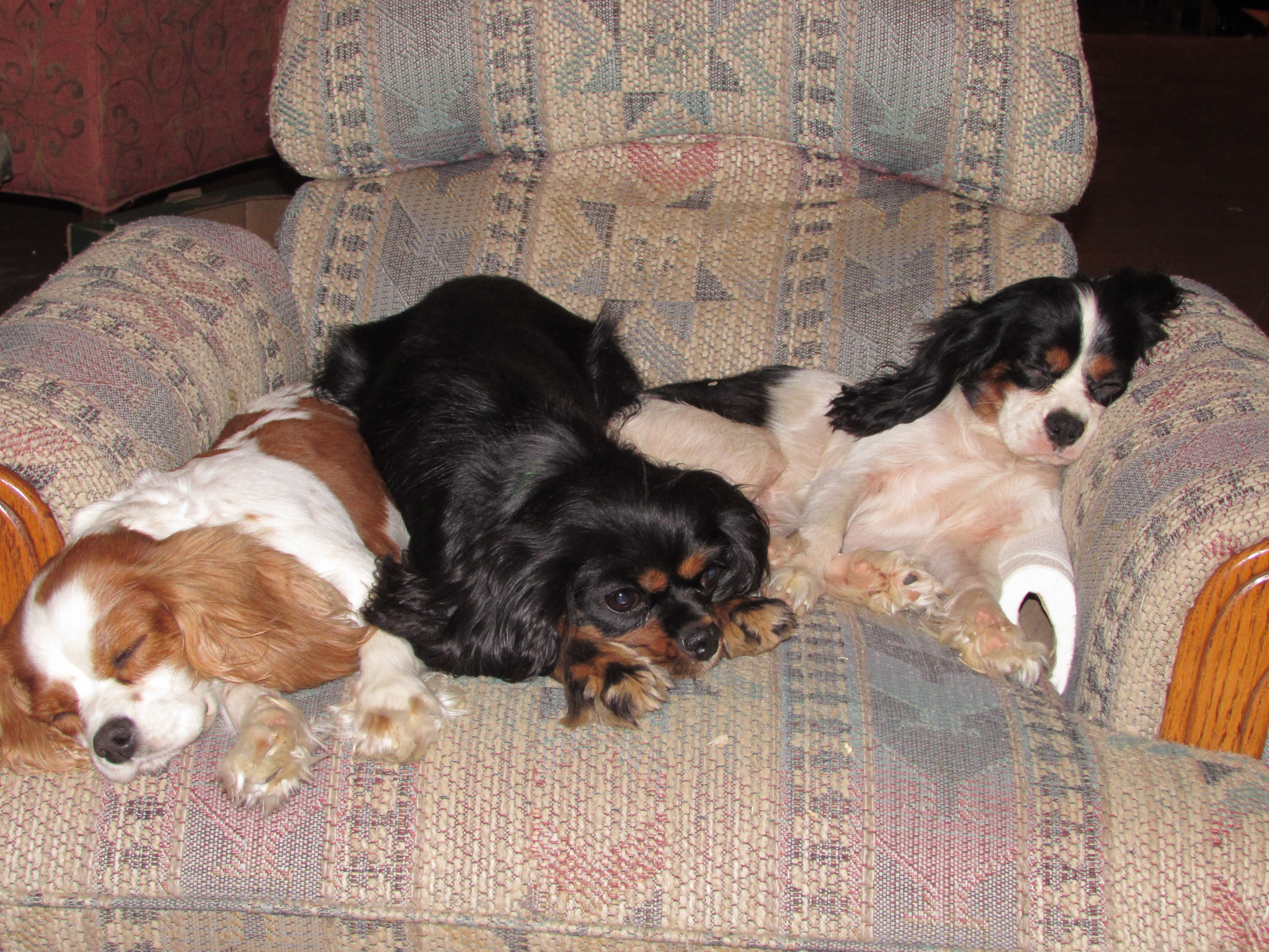 Mountain Top Cavaliers | Cavalier King Charles Spaniels, Tennessee
